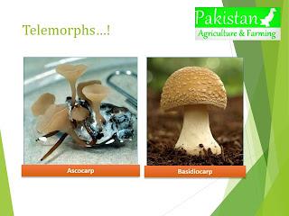 Telemorphs, for example ascocarp and basidiocarp