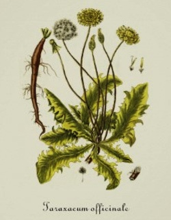 Vintage dandelion illustration by Elizabeth Blackwell