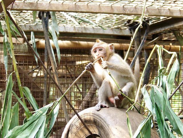 17 Monyet Ekor Panjang Dilepas di Ujung Kulon