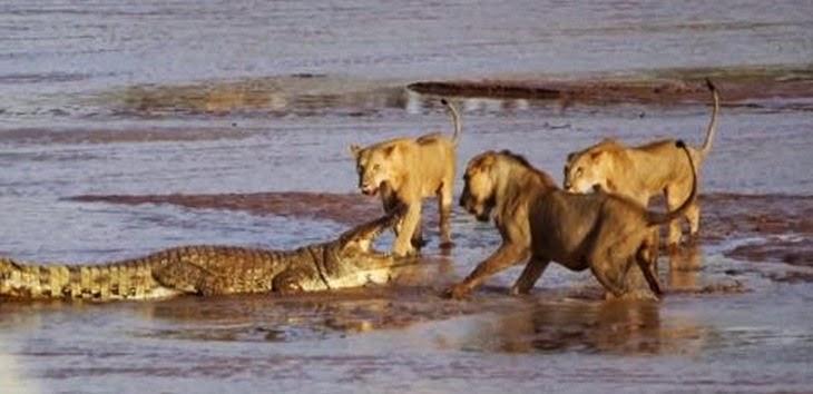 video de animales salvajes peleando