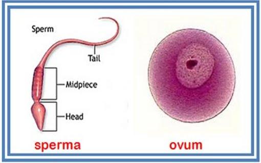 tambah sperma