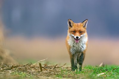 El paso del zorro - Fox