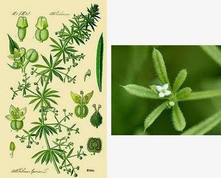 cleavers herbal medicine