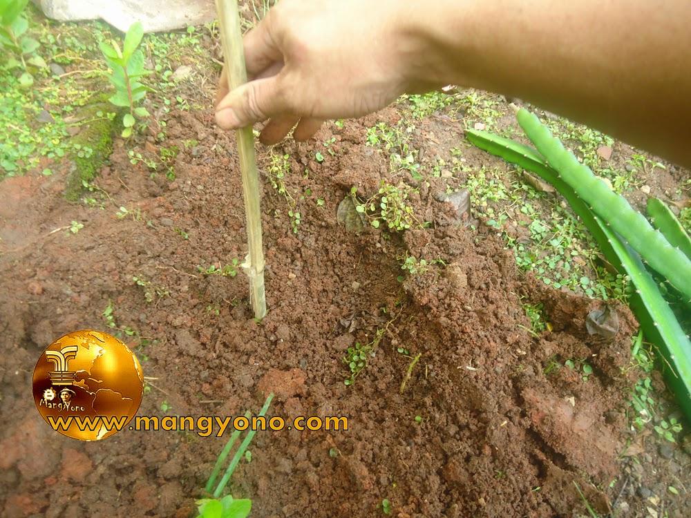 FOTO  2 : Pembuatan lubang tanam dan menancapkan ajir.