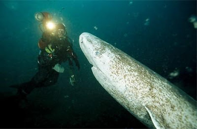 深海鯊魚 睡鯊