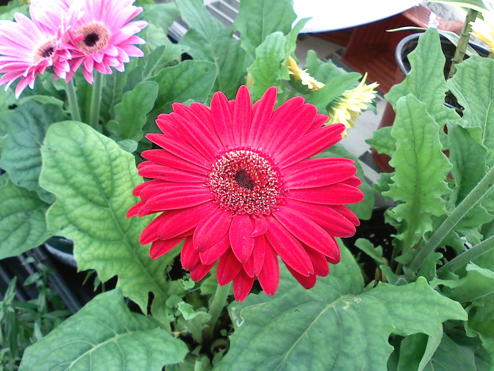 Fotos De Flores Tipicas De Puerto Rico - Hibiscus Wikipedia, la enciclopedia libre