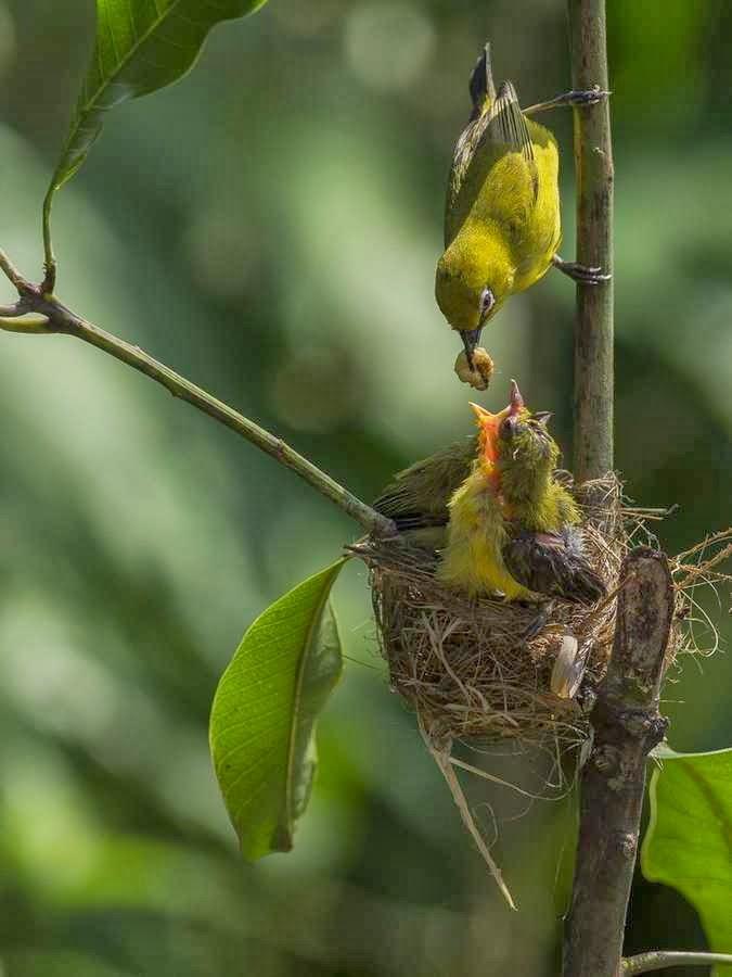 burung+pleci 2