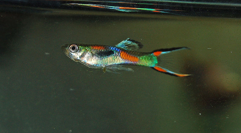 Fish Pictures: Endlers livebearer - Poecilia wingei
