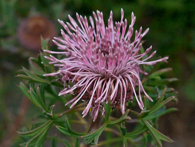 Pincushion Coneflower (Isopogon dubius)