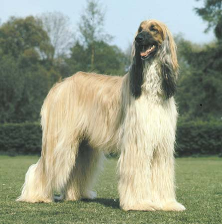 Afghan Hound Dog Breed Photos