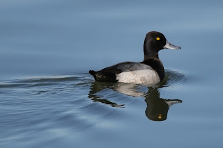 Lesser Scaup Aythya affinis at the Belle Haven Marina in Alexandria Virginia by SherseyDC