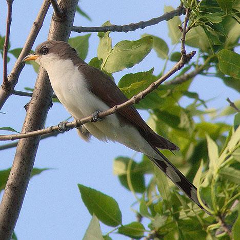 All Beautiful Birds Cuckoo Birds Wallpapers