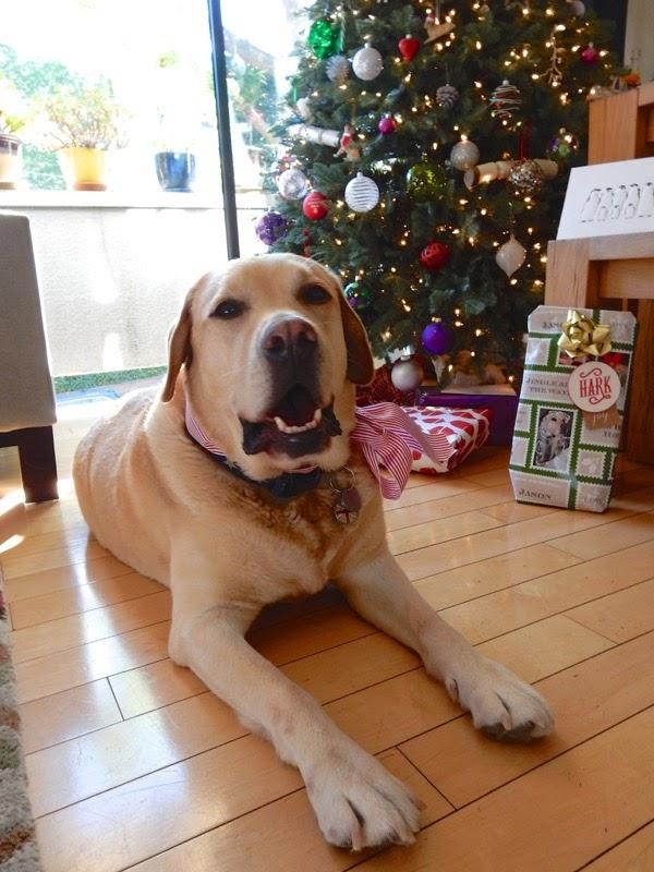 Christmas Day Labrador Cooper