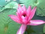 Kandungan dan Manfaat Bunga Teratai
