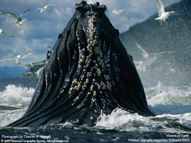 National Geographic Wallpapers Photography Whale