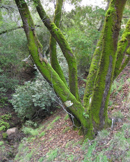 Moss-covered tree trunks near a stream running above Calaveras Road, Santa Clara County, California