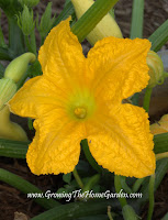 Summer squash blossom grown in raised beds