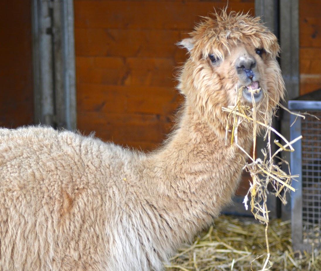 [Fotografie] Alpaca - Zwerg Zebu