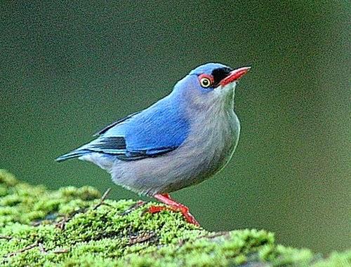 Foto Burung Rambatan Terbaik