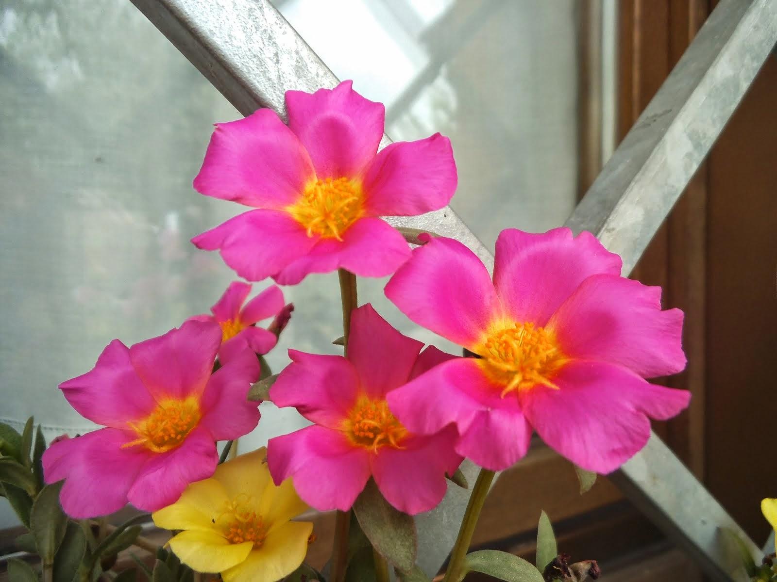Portulacca rosa
