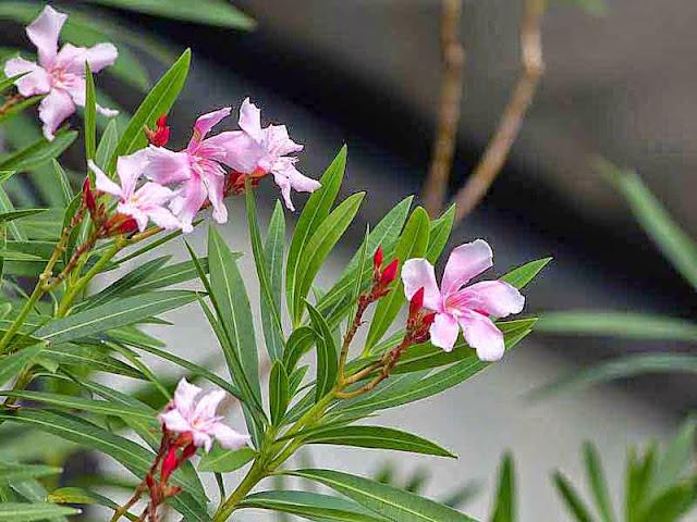 pink, flowers, Oleander