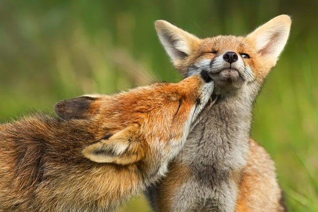 Post love foxes