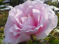 見ごろはゴゥールデンウィークのいまを盛りとうららかに花びらを吹く風になびかせている。