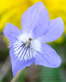 Early Blue Violet. Photo  © Shelley Banks, all rights reserved.