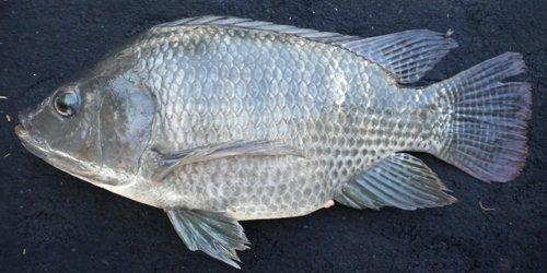 Peluang Bisnis Budidaya Bibit Ikan Nila Memang Menguntungkan