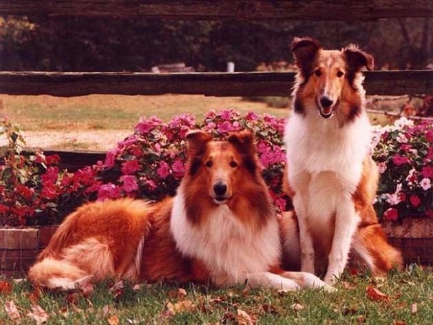 Herding Dog Breeds
