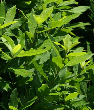 Bay leaf as known as laurel leaf cooking signature - Cook bay leaves ...