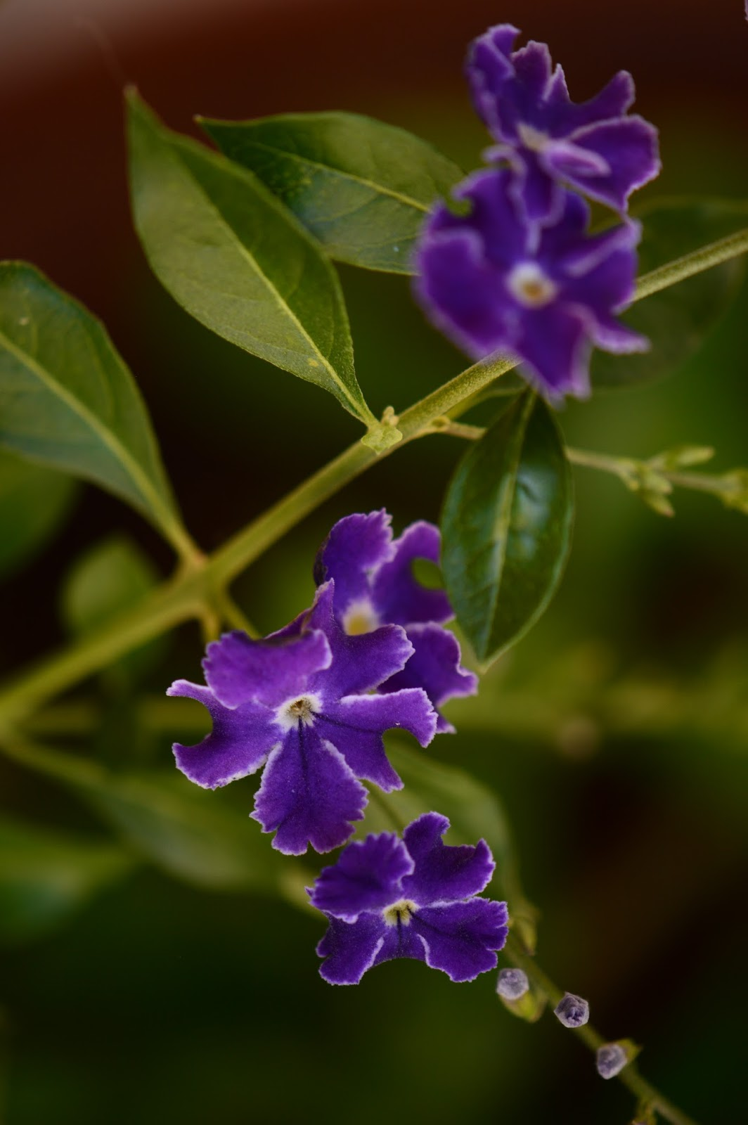 amy myers photography, Duranta erecta