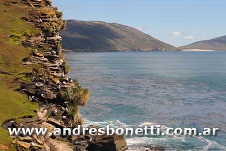 Albatros de Caja Negra - Islas Malvinas - Black-browed Albatross - Falklnd Islands - Andrés Bonetti