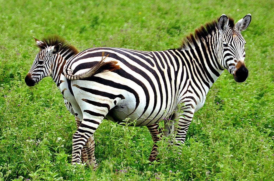 Grevys zebra videos photos and facts  Equus grevyi  Arkive