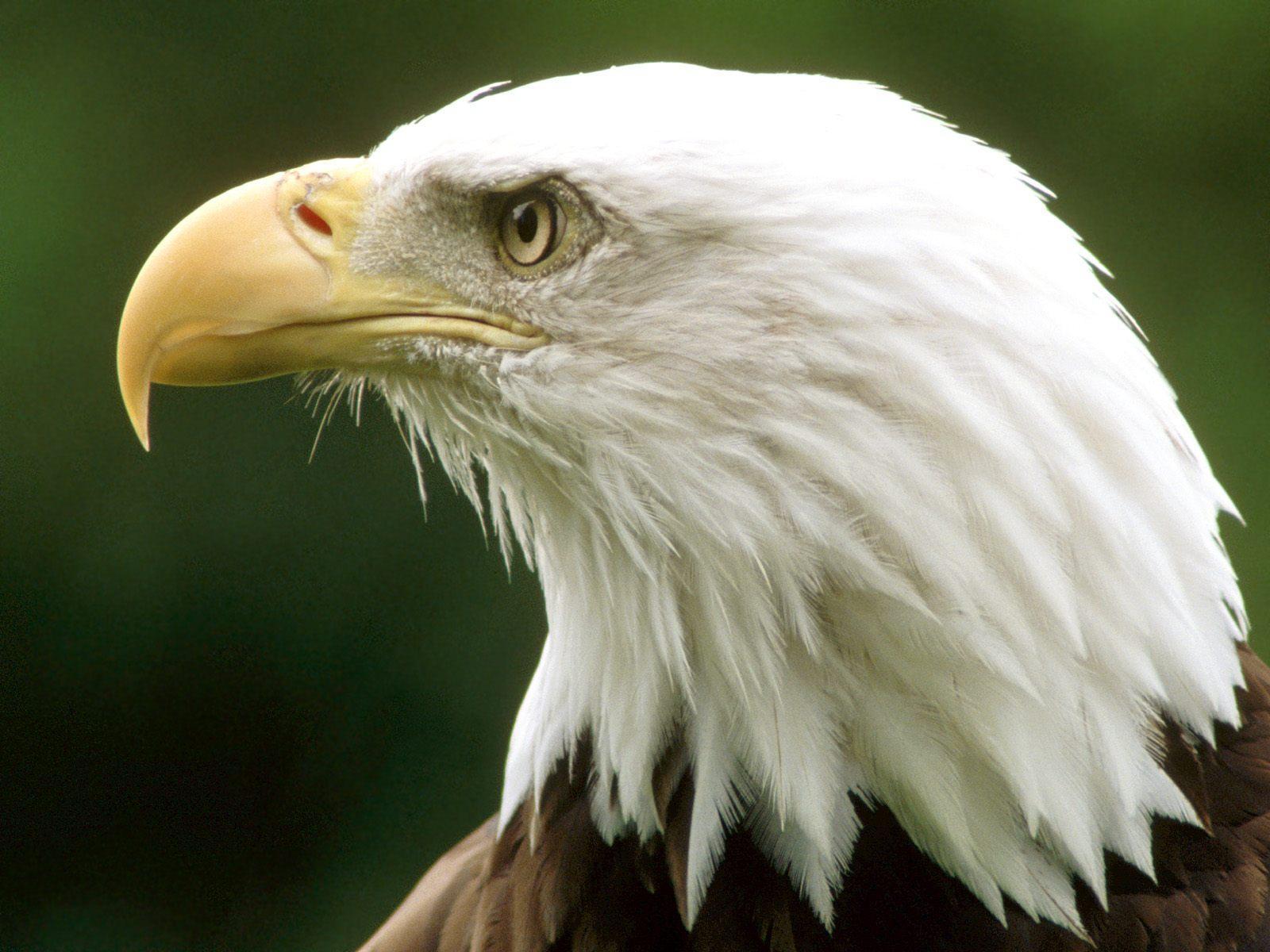 http://4.bp.blogspot.com/-envzXg-wByk/TjmRvQuLiII/AAAAAAAAAPM/FYaXC13vv9o/s1600/Bald+Eagle+Wallpapers+8.jpg