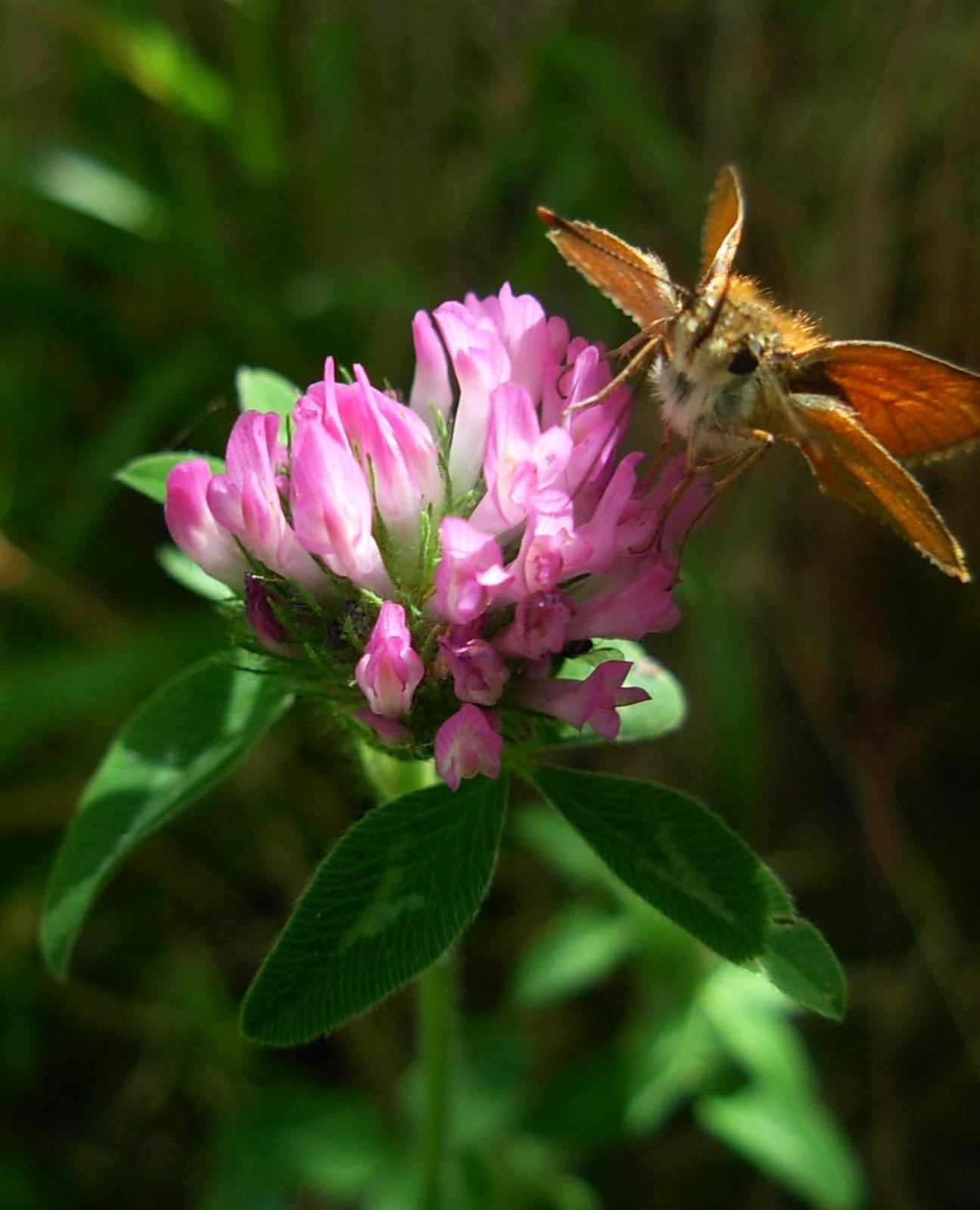 PlazaNavaluenga: Trébol rojo o violeta (Trifolium pratense)