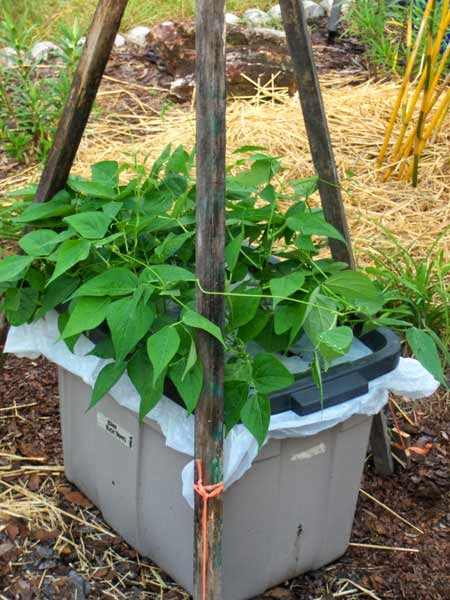 Pole Beans in Self-watering container garden