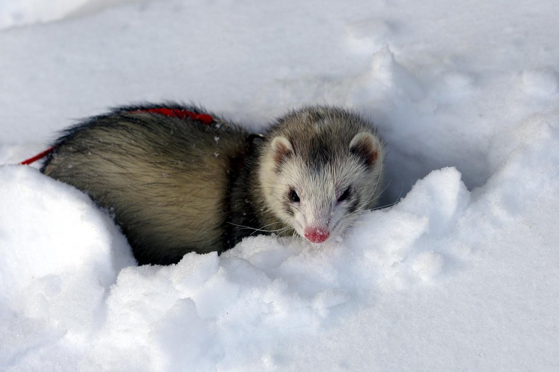 Ferrets Wallpapers | Fun Animals Wiki, Videos, Pictures ...