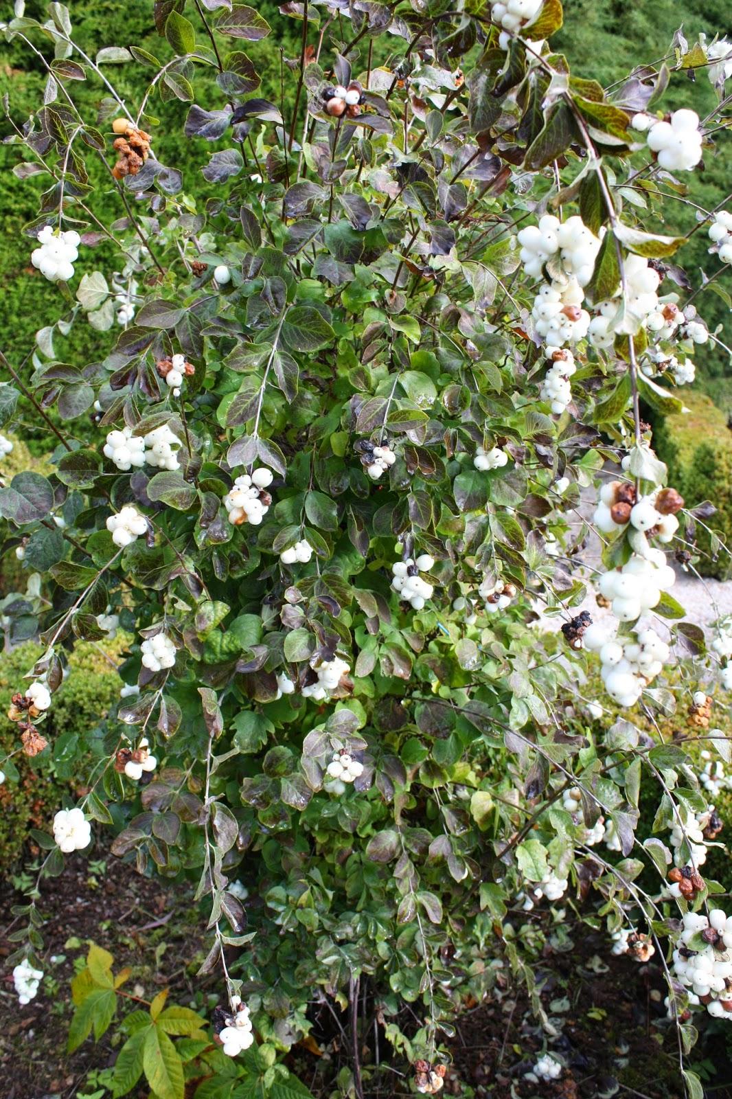 horta porta symphoricarpos albus bola de neve common snowberry arbre aux perles lacrime d. Black Bedroom Furniture Sets. Home Design Ideas