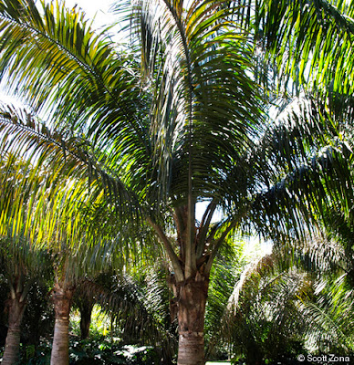 Palmera carossier Attalea crassispatha