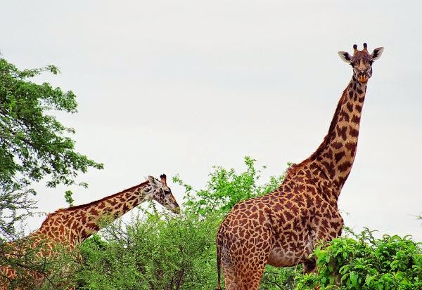 Two majestic giraffes