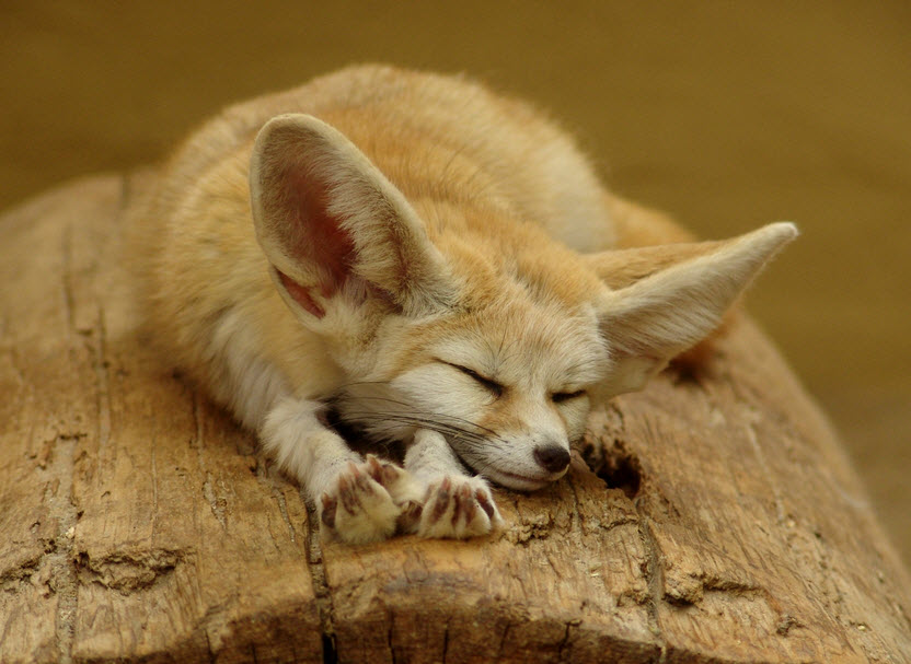 Foxes in the desert - photo#22