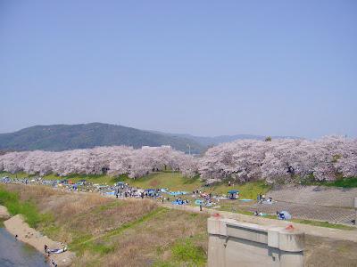 京都府八幡市・背割堤の桜