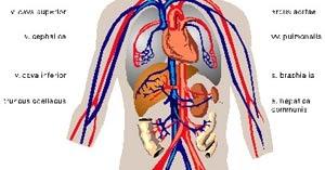Cuerpo Humano VENAS Y ARTERIAS