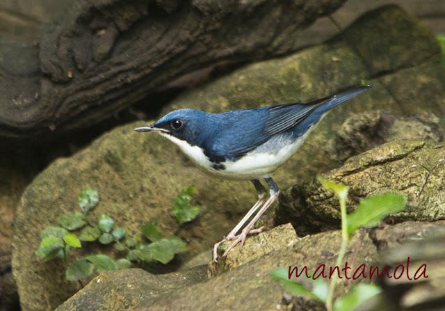 Kaeng Krachan, Siberian Blue Robin