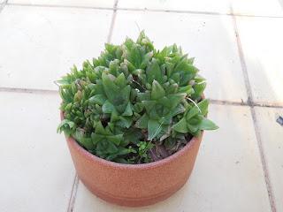 planta suculenta Haworthia cooperi