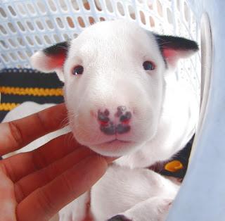 Bull Terrier ลูกสุนัข ซื้อ ขาย ฟาร์ม บูลเทอร์เรีย