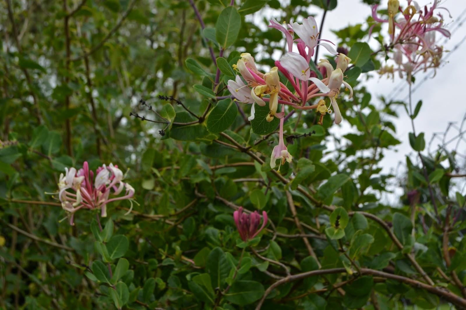 Madreselva silvestre, Lonicera con flores blancas y rosas. Enredadera perfumada.