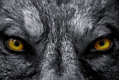 close up of wolf eyes looking at you