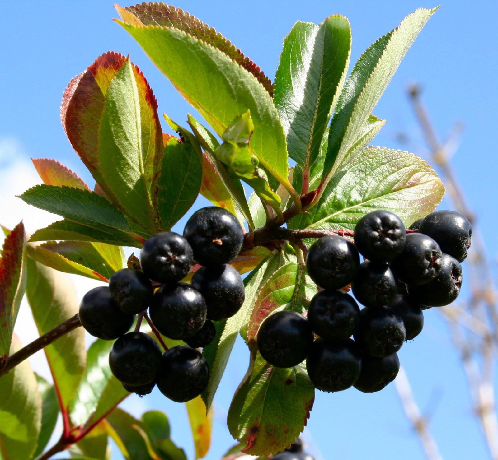 scottish artist and his garden health benefits of black fruit. Black Bedroom Furniture Sets. Home Design Ideas